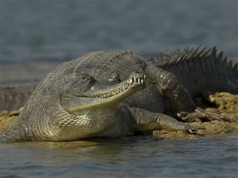 gharial in chambal