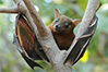 indian fruit bat
