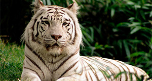 about indian tigers